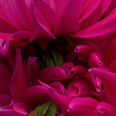 Dahlia, Close, Color