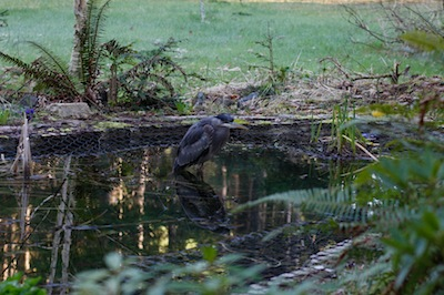 Heron Staying