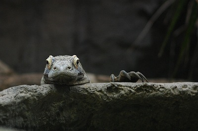 komodo dragon, eye to eye