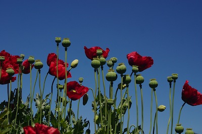 Poppies poppies (poppies)