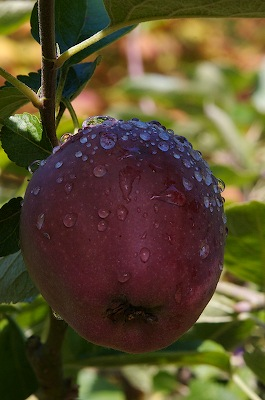 Apple after the rain