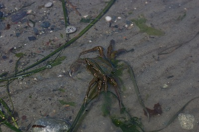 Crab in tidal pool