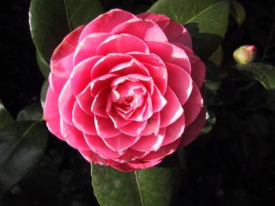 A Very Nice Camellia