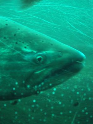 Big ol salmon