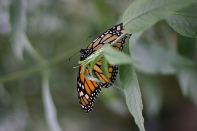 Monarch on a leaf