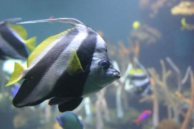 Type R Fish
