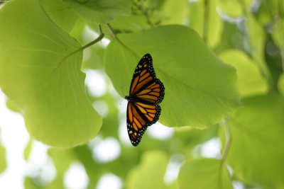 Monarch on a leaf 2