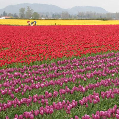 My god, its full of tulips