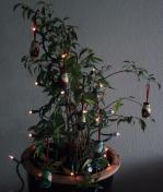 the christmas ficus