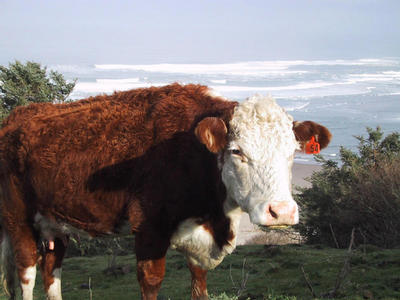 Cow, with ocean