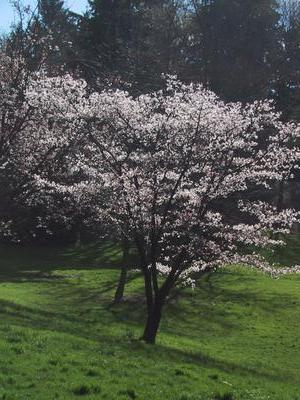 Cherry tree, hazy atmosphere
