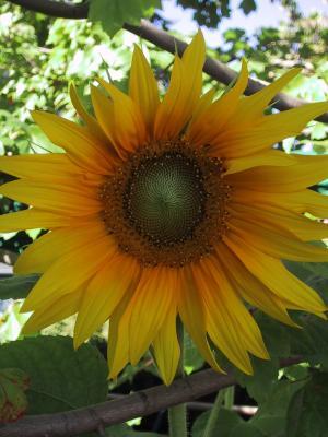 A freshly opened sunflower