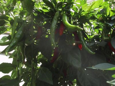 Thai Dragon peppers